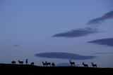 Silhouette of Herd of Female Red Deer (Cervus Elaphus) on Ridge at Dawn, Caithness, Scotland, UK Photographic Print by Peter Cairns