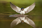Barn Swallow (Hirundo Rustica) Alighting at Pond, Collecting Material for Nest Building, UK Photographic Print by Mark Hamblin