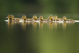 A Line of Mallard (Anas Platyrhynchos) Ducklings Swimming on a Still Lake, Derbyshire, England, UK Photographic Print by Andrew Parkinson