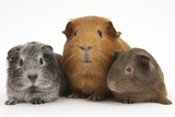 Mother Red Guinea Pig with Silver and Chocolate Babies in Line Lámina fotográfica por Mark Taylor