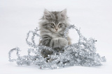 Maine Coon Kitten, 8 Weeks, Playing with Tinsel Photographic Print by Mark Taylor