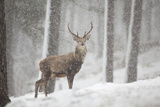 Red Deer (Cervus Elaphus) in Heavy Snowfall, Cairngorms National Park, Scotland, March 2012 Photographic Print by Peter Cairns