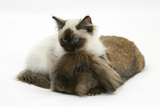 Ragdoll Kitten, 12 Weeks, with Lionhead Rabbit Photographic Print by Mark Taylor