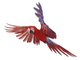 Green Winged Macaw {Ara Chloroptera} in Flight, Captive Photographic Print by Mark Taylor