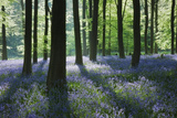 A Carpet of Bluebells (Endymion Nonscriptus) in Beech (Fagus Sylvatica) Woodland, Hampshire, UK Photographic Print by Guy Edwardes