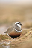 Male Eurasian Dotterel in Breeding Habitat, Grampian Mountains, Cairngorms Np, Scotland, UK Photographic Print by Mark Hamblin