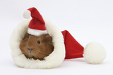 Baby Guinea Pig in and Wearing a Father Christmas Hat Photographic Print by Mark Taylor