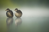 Two Young Coots (Fulica Atra) Standing Together in Shallow Water, Derbyshire, England, UK, June Photographic Print by Andrew Parkinson