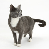Blue-And-White Burmese-Cross Cat, Levi, Standing Photographic Print by Mark Taylor