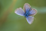 Silver-Studded Blue Butterfly (Plebejus Argus), New Forest, Hampshire, England, UK, July Photographic Print by Guy Edwardes