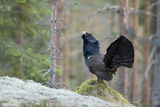 Capercaillie (Tetrao Urogallus) Cock Displaying on Raised Mound in Forest, Bergslagen, Sweden Photographie par E. Haarberg