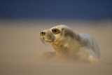 Grey Seal (Halichoerus Grypus) Pup Resting on Sand Bank During Sandstorm, Lincolnshire, UK Photographic Print by Danny Green