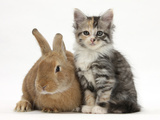 Ginger Rabbit and Maine Coon-Cross Kitten, 7 Weeks Photographic Print by Mark Taylor