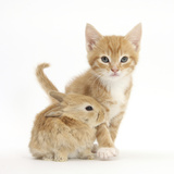 Ginger Kitten, 7 Weeks, and Baby Sandy Lop Rabbit Photographic Print by Mark Taylor