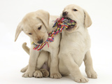 Yellow Labrador Retriever Puppies, 9 Weeks, Playing with a Ragger Toy Fotografisk tryk af Mark Taylor