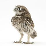 Portrait of a Young Little Owl (Athene Noctua) Fotoprint van Mark Taylor