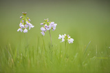 Cuckoo Flower (Cardamine Pratensis) Catcott Lows Swt Reserve, Somerset Levels, England, UK, April Photographic Print by Guy Edwardes