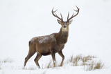 Red Deer Stag (Cervus Elaphus) on Open Moorland in Snow, Cairngorms Np, Scotland, UK, December Fotografisk trykk av Mark Hamblin