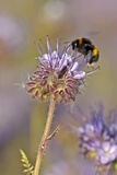 Buff-Tailed Bumble Bee (Bombus Terrestris) Worker Feeding on Nectar from a Scorpionweed, UK, May Photographic Print by Chris Gomersall