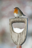 Adult Robin (Erithacus Rubecula) Perched on Spade Handle in the Snow in Winter, Scotland, UK Stampa fotografica di Mark Hamblin