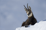 Chamois (Rupicapra Rupicapra) Resting on Snow, Gran Paradiso National Park, Italy, November 2008 Photographic Print by E. Haarberg