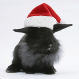 Black Baby Dutch X Lionhead Rabbit with Father Christmas Hat On Photographic Print by Mark Taylor
