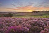 Heather in Bloom on Lowland Heathland, Rockford Common, Linwood, New Forest Np, Hampshire, UK Photographic Print by Guy Edwardes