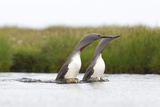 Red-Throated Diver (Gavia Stellata) Adult Pair Displaying on Loch, Flow Country, Scotland, UK Photographie par Mark Hamblin