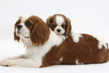 Blenheim Cavalier King Charles Spaniel Mother and Puppy Fotografisk tryk af Mark Taylor
