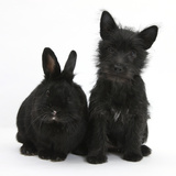 Black Terrier-Cross Puppy, Maisy, 3 Months, with a Black Rabbit Photographic Print by Mark Taylor