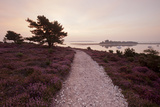 Path Running Through Common Heather, with Brownsea Island, Arne Rspb, Dorset, England, UK Photographic Print by Ross Hoddinott
