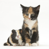 Tortoiseshell Kitten with Baby Tortoiseshell Guinea Pig Photographic Print by Mark Taylor