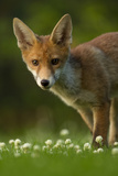 Red Fox (Vulpes Vulpes) Cub in Late Evening Light, Leicestershire, England, UK, July Photographic Print by Danny Green