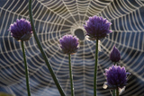 Flowering Chives (Allium Schoenoprasum) in Front of a Spiders Web, Stockholm Archipelago, Sweden Photographic Print by O. Haarberg