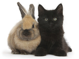 Fluffy Black Kitten, 9 Weeks Old, and Young Rabbit Photographic Print by Mark Taylor