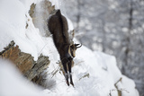 Chamois (Rupicapra Rupicapra) Leaping Down Snowy Hillside, Gran Paradiso Np, Italy, November 2008 Photographic Print by E. Haarberg