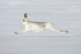 Mountain Hare (Lepus Timidus) in Winter Coat Running across Snow, Stretched at Full Length, UK Photographic Print by Mark Hamblin