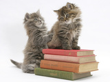 Two Maine Coon Kittens Playing on a Stack of Books Photographic Print by Mark Taylor