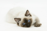 Ragdoll Kitten with Deep Blue Eyes, 12 Weeks, Lying Down Photographic Print by Mark Taylor