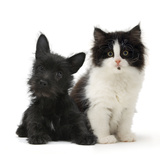 Black Terrier Cross Puppy Age 3 Months, with a Black and White Kitten Photographic Print by Mark Taylor