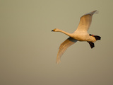 Whooper Swan (Cygnus Cygnus) in Flight. Caerlaverock Wwt, Scotland, Solway, UK, January Photographic Print by Danny Green