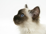Ragdoll Kitten, 12 Weeks, Looking Up, Head Profile Photographic Print by Mark Taylor