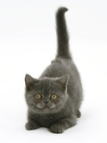 Grey Kitten Crouching, Looking Playful, Tail Up Photographic Print by Mark Taylor
