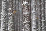 Two Red Squirrels (Sciurus Vulgaris) in Snowy Pine Forest. Glenfeshie, Scotland, January Photographic Print by Peter Cairns