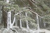 Scots Pine (Pinus Sylvestris) Woodland in Winter, Abernethy Nnr, Cairngorms Np, Scotland, UK Photographic Print by Mark Hamblin