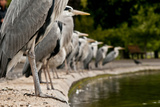 Flock of Grey Herons (Ardea Cinerea) Standing in a Line at Pond Edge, Regents Park, London, UK, May Photographic Print by Bertie Gregory
