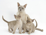 Lilac Burmese Mother Cat, Lily, and Two Kittens, 7 Weeks Photographic Print by Mark Taylor