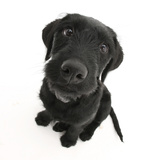 Black Labrador X Portuguese Water Dog Puppy, Cassie, Looking Up Photographic Print by Mark Taylor