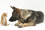 German Shepherd Dog Looking at a Ginger Kitten Photographic Print by Mark Taylor
