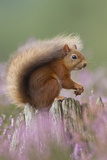 Red Squirrel (Sciurus Vulgaris) on Stump in Flowering Heather. Inshriach Forest, Scotland Photographic Print by Peter Cairns